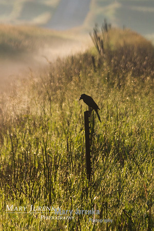 red winged black bird silhouette, sunrise, sunrise silhouette, birds, fields, scenic, nature, wildlife, farms
