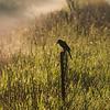 red winged black bird silhouette, sunrise, sunrise silhouette, birds, fields, scenic, nature, wildlife, farms