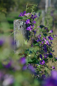 Morning Glories on a Fence