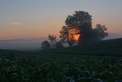 Misty Sunrise over Cornfield