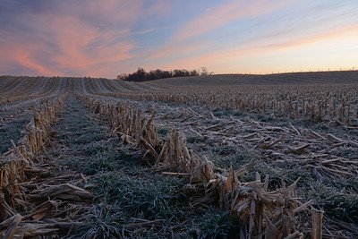 Frosty Cornfield