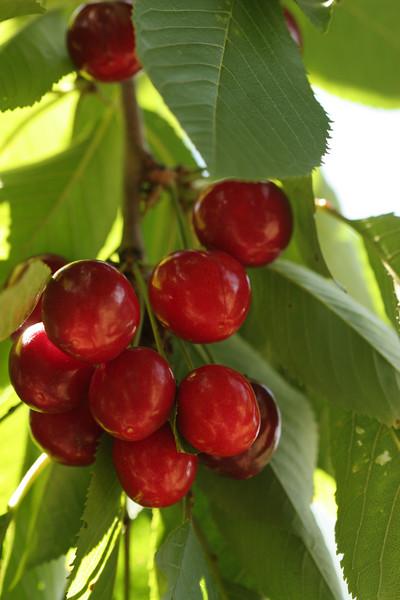 Cherries_6216