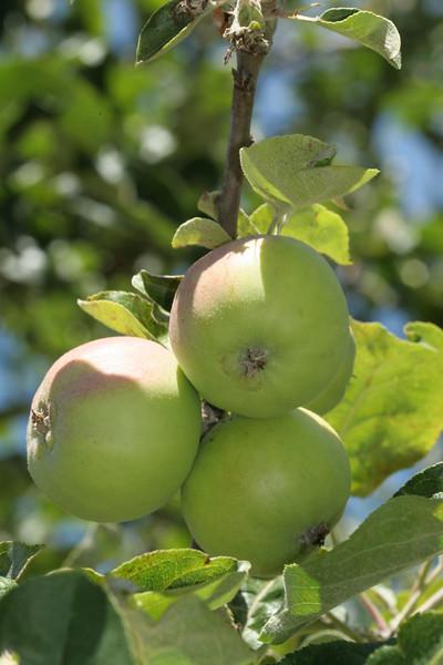 Apples6265