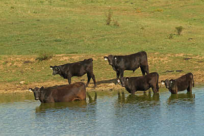Cows Cooling off in a pond