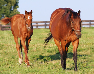 Two Thorohbred Horses