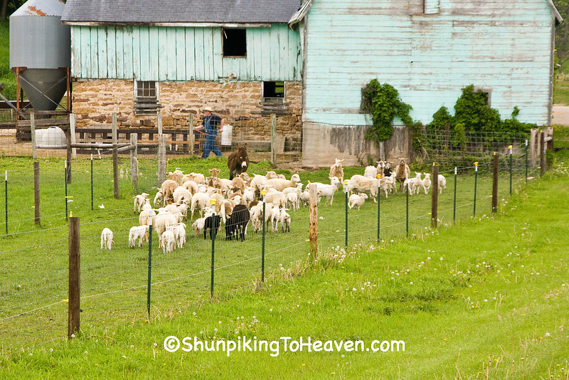 Feeding Time for the Sheep, Iowa County, Wisconsin