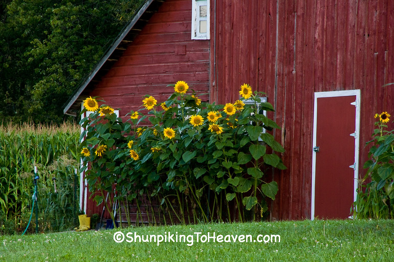 Sunflowers Against a Red Barn, Dane County, Wisconsin