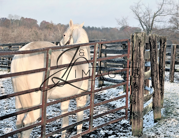 White Thoroughbreds