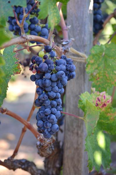 purple grapes on the vine