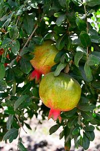 green pomegranates on the tree