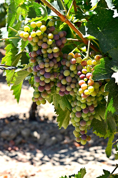 multicolor grapes on the vine