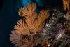 California golden gorgonian, Muricea californica<br /> Eagle Rock, Catalina Island, Los Angeles County, California