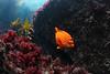 Garibaldi, Hypsypops rubicundus<br /> West End, Catalina Island, Los Angeles County, California