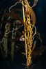 Giant kelp, Macrocystis pyrifera and Norris topsnail, Norrisia norrisi <br /> Eagle Rock, Catalina Island, Los Angeles County, California