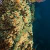 Epizoanthus giveni<br /> Farnsworth Bank on No Pressure<br /> 91 fsw<br /> Catalina Island, Los Angeles County, California