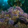 California hydrocoral, Stylaster californicus<br /> Farnsworth Bank on No Pressure<br /> Catalina Island, Los Angeles County, California