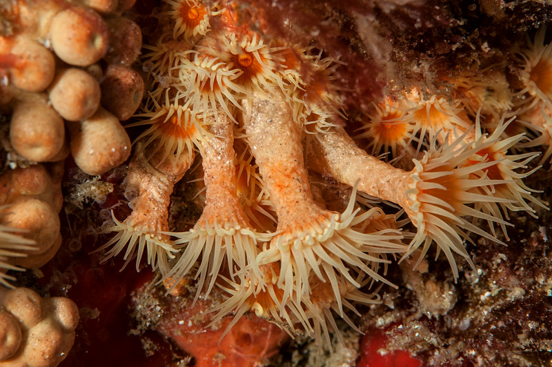 Given's zoanthid, Epizoanthus giveni<br /> Only found in California's Southern Channel Islands<br /> <br /> Farnsworth Bank, Catalina Island, California