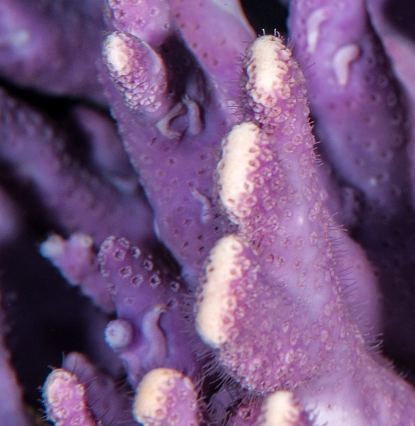 Syllid polychaete worm, Proceraea penetrans, on California hydrocoral, Stylaster californicus<br /> Farnsworth Bank, Catalina Island, California