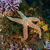 Further studies are needed to classify this unusual sea star, but the current place-holder is Pharia pyramidata.