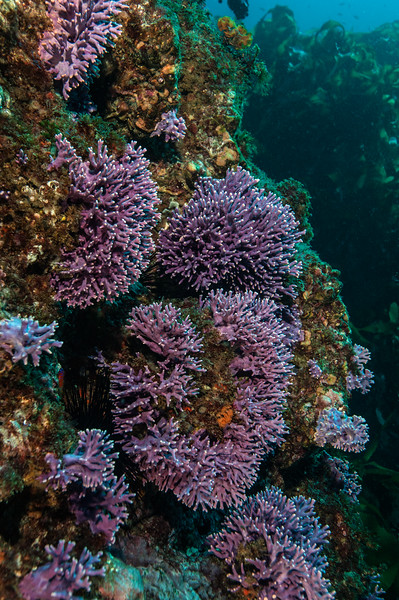 California hydrocoral, Stylaster californicus<br /> Farnsworth Bank, Catalina Island, California