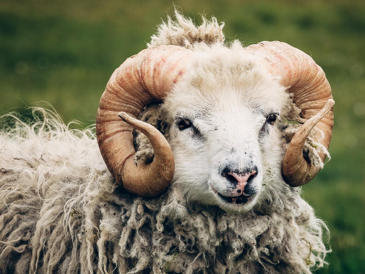 Faroese Sheep