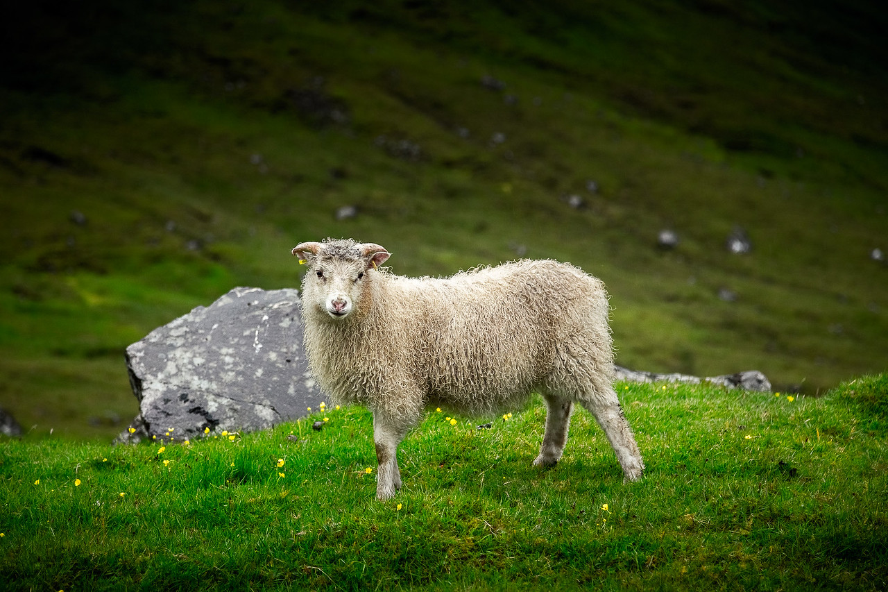 Faroe Islands Lamb