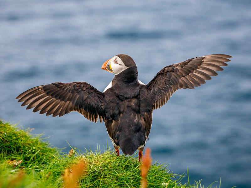 Puffin Spreading it's Wings