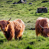 Highland Cattle Eating