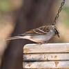 P2140069-021415 Sparrow, Back Yard Bird Bath copy copy