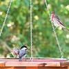 +++++9151621 Birds with New Lens Chickadee & Housefinch -Version 2