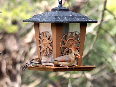Juvenile Cardinal and Sparrow P2140099 copy