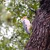 +C071983 December Woodpecker – Version 2