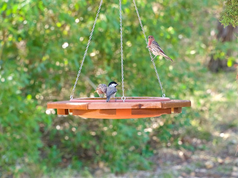 +++9151620 Birds with New Lens Chicadee & Housefinch – Version 3