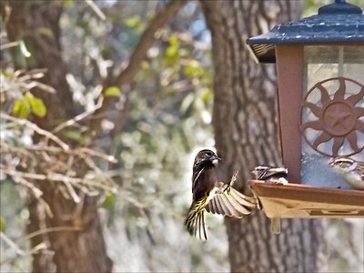 Landing on the Feeder ++_A130424 copy