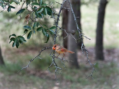 Juvenile Cardinal in the Live Oak Tree  ++More Summer Birds – Version 2