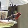 House Finch ++Bird Snacks – Version 4