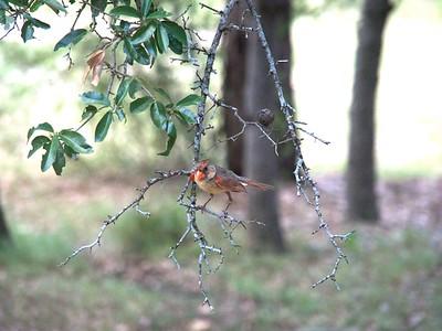 Juvenile Cardinal  +++More Summer Birds – Version 2