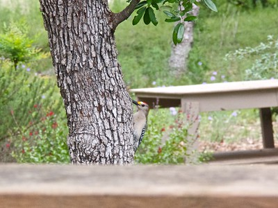 041412-01 golden fronted woodpecker