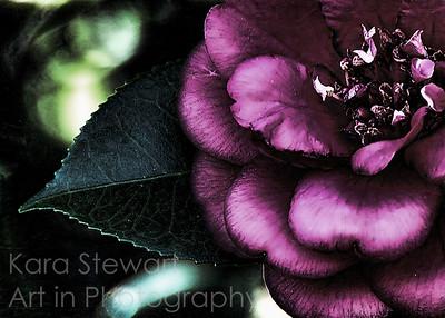 Night Camellia