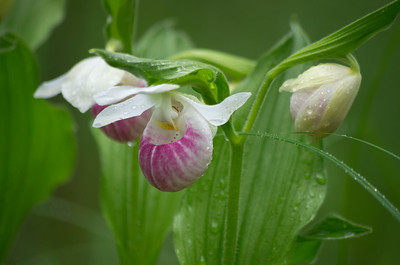 Showy Lady's Slipper photo by Julian Luckham
