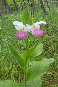 Showy Lady's Slipper photo by Caitlin Luckham
