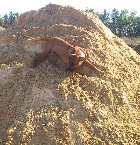 As a pup she loved to run up in the sand pits outside the office