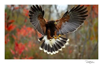 birdsofprey-1DMarkIV-191014-6487 and sig