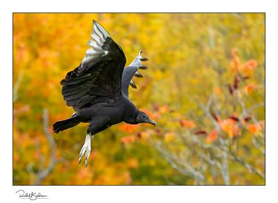 birdsofprey-1DMarkIV-191014-7550 andsig