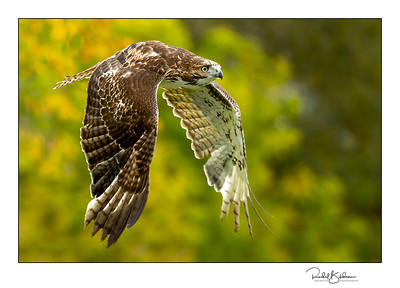 birdsofprey-1DMarkIV-191014-7228 and sig