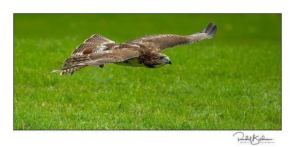 birdsofprey-1DMarkIV-191014-7201-cropped and sig