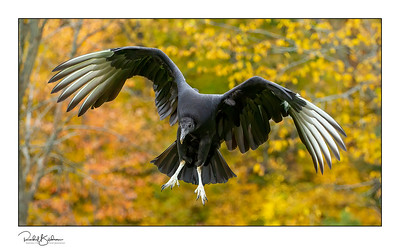 birdsofprey-1DMarkIV-191014-7526 and sig