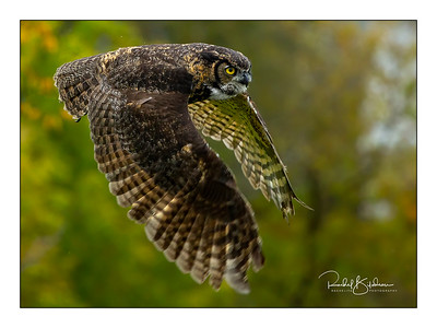 birdsofprey-1DMarkIV-191014-7093-cropped-denoised and sig