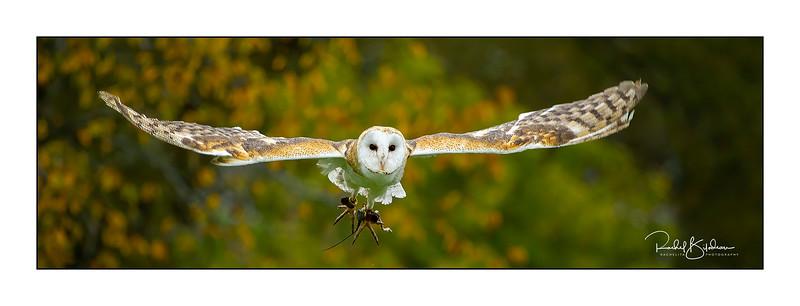 birdsofprey-1DMarkIV-191014-6688-denoise AI-sharpen AI and sig