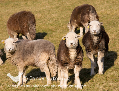 Herdwicks at High Newton